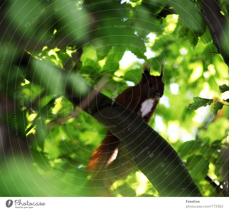 Squirrel I Colour photo Exterior shot Deserted Day Environment Nature Plant Animal Beautiful weather Tree Leaf Forest Wild animal 1 Brash Small Smart Speed