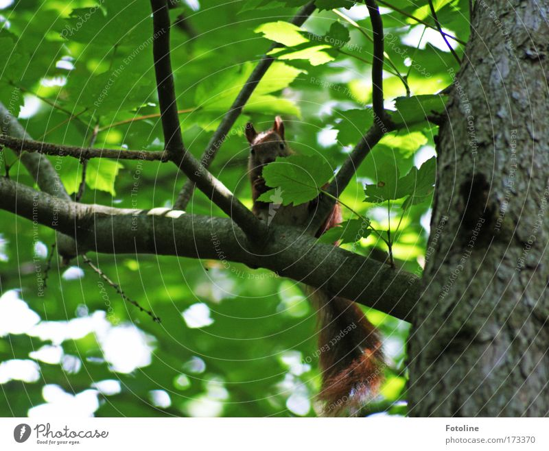 Squirrel II Colour photo Exterior shot Deserted Day Sunlight Environment Nature Plant Animal Beautiful weather Warmth Tree Leaf Wild plant Forest Wild animal 1