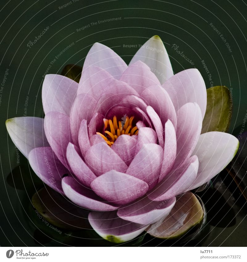 nymphae Colour photo Exterior shot Deserted Day Bird's-eye view Plant Blossom Warmth Beautiful Discover Nature Water lily