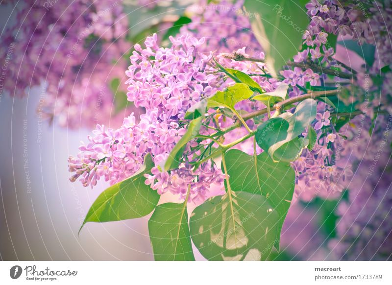 lilac Lilac Violet Blossoming Flower Plant Nature Natural Close-up Wellness Summer Spring Detail