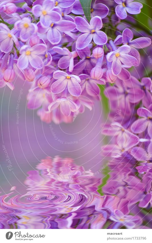 lilac Lilac Violet Blossoming Flower Plant Nature Natural Close-up Water Waves Wellness Summer Spring Detail