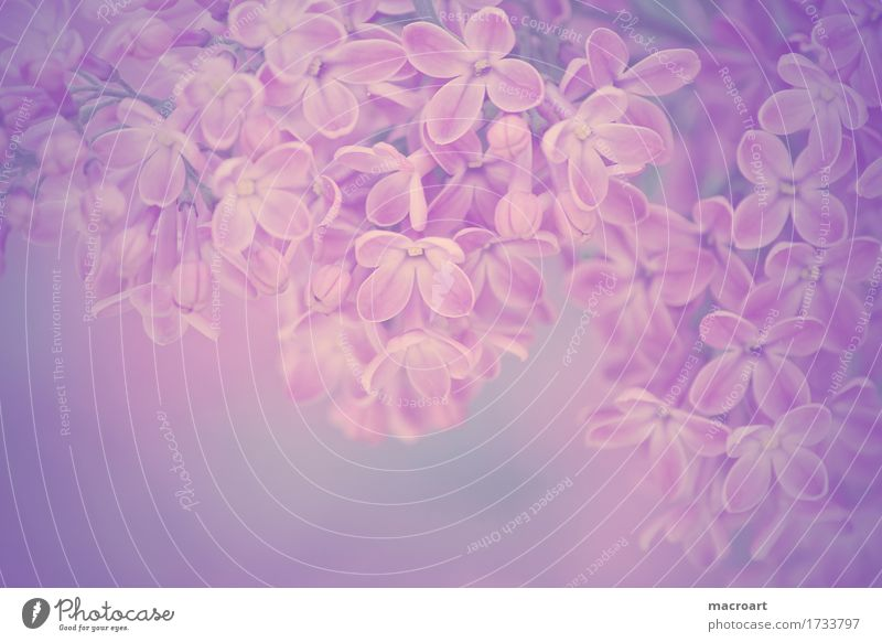 lilac Lilac Violet purple Blossom Flower Blossoming Summer Spring Plant Nature Natural Wellness Close-up Detail