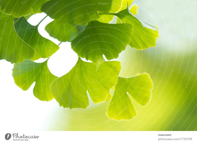ginkgo Ginko China Tree Deciduous tree Verdant Leaf Ginkgo biloba leaves remedies Summer Green Wellness Spa relax medicinal plant Cough floral