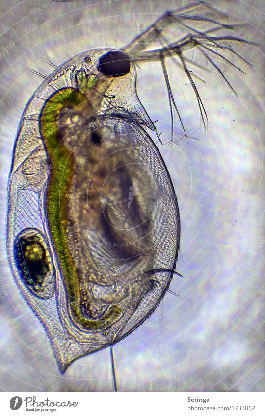 leaf crayfish ( water flea ) Camera Science & Research Plant Animal Water Drops of water Bog Marsh Pond Lake Wild animal Animal face 1 Microscope Looking Small