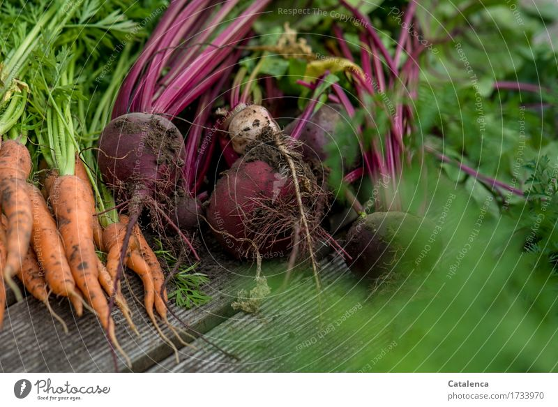 harvest Leisure and hobbies Gardening Gardener Nature Plant Summer Agricultural crop Carrot Red beet Vegetable garden To dry up Growth Fragrance Fresh Healthy