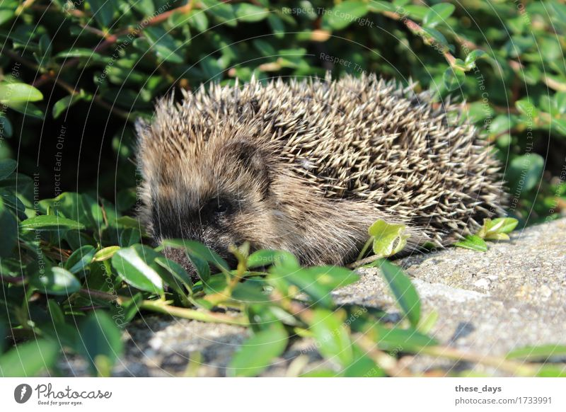 hedgehogs Spring Bushes Animal Wild animal Thorny Brown Hedgehog Colour photo Exterior shot Close-up Deserted Day Animal portrait