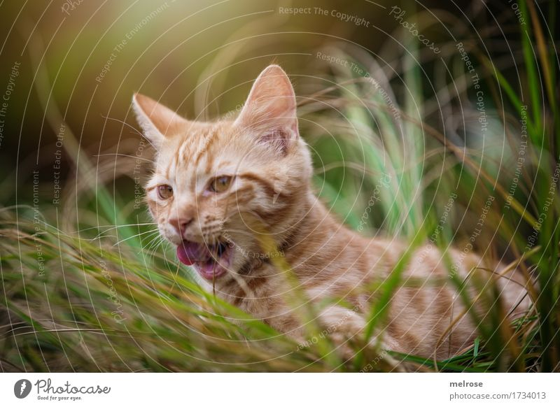 on the hunt ... Animal Pet Cat Animal face Pelt Cat's tongue Cat's ears Snout 1 Baby animal Lick Tongue Light (Natural Phenomenon) Shaft of light tall grass