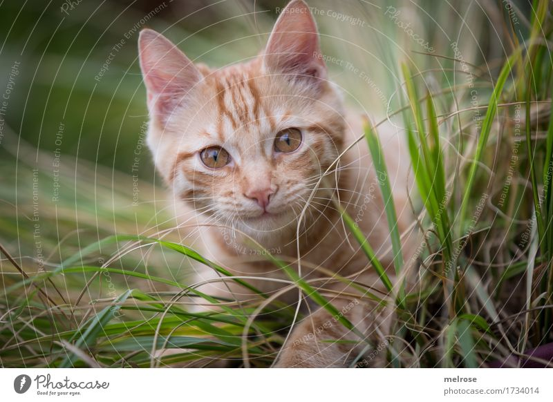 Morschaaaaaaaaa Elegant Nature Summer Grass tall grasses Garden Animal Pet Cat Animal face Pelt Paw Cat's ears Snout 1 Baby animal amid alert look Observe