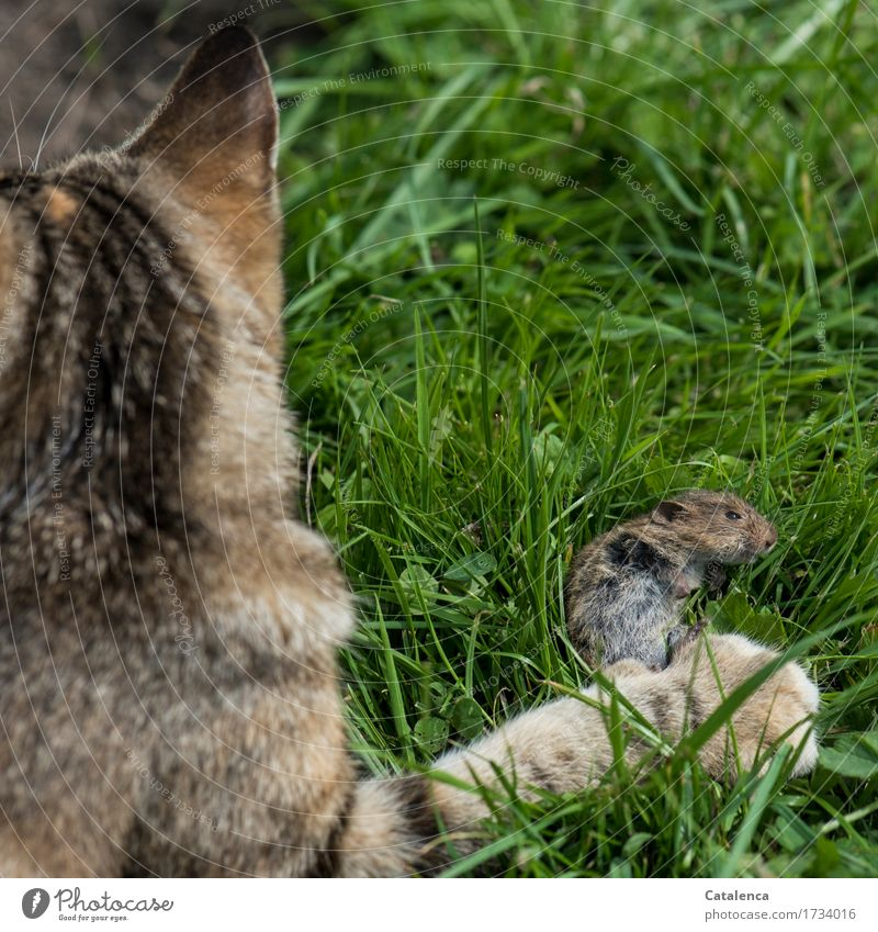 Monitoring the mouse population. Hunting Plant Animal Summer Grass Meadow Pet Wild animal Cat Pelt Paw Mouse 2 Catch To feed Success Brown Green Might Death