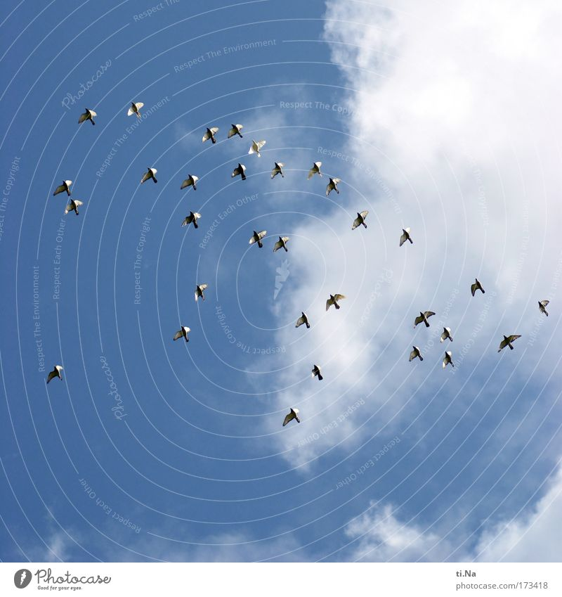 Sky Nature Summer Vacation & Travel Animal Movement Flying Bird Pigeon Beautiful weather Flock Dove of peace Homing pigeon