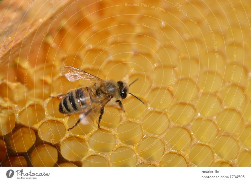 diligent house builder a Buckfast honey bee on a honeycomb Environment Nature Animal Farm animal Bee Insect Honeycomb Honey-comb Beehive Bee-keeping