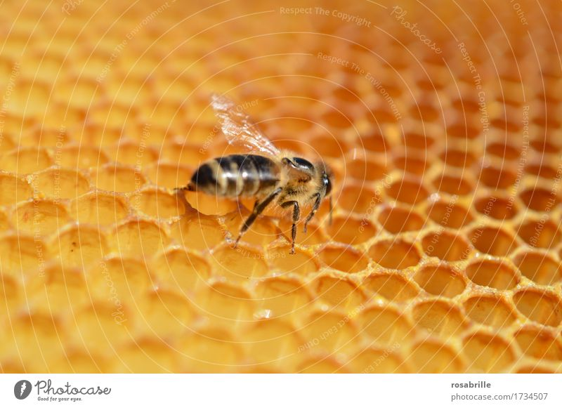 diligent house builder Animal Farm animal Insect Bee Honey Honey bee Honeycomb Honey-comb Work and employment Build Walking Small Brown Yellow Passion