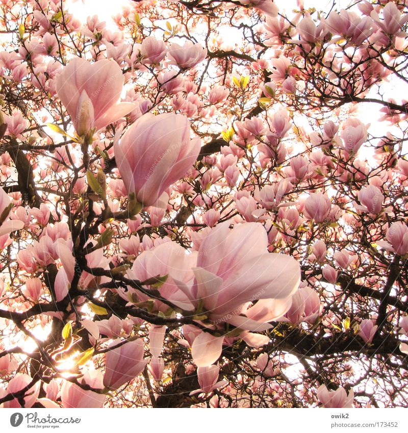 Brothers, to the sun Colour photo Exterior shot Detail Deserted Morning Sunlight Environment Nature Plant Tree Blossom Exotic Magnolia tree Magnolia plants