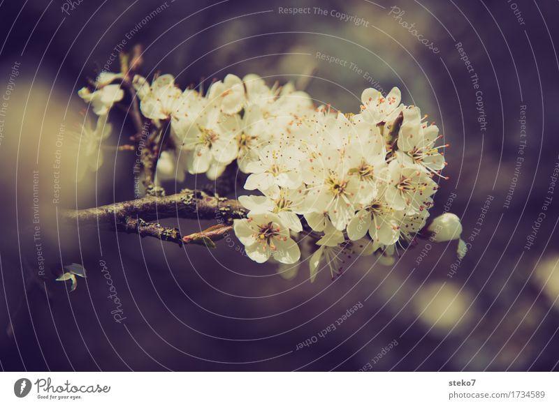 Blossom Spring Illuminate Growth Beginning Blossoming Spring fever Cherry tree Wild cherry