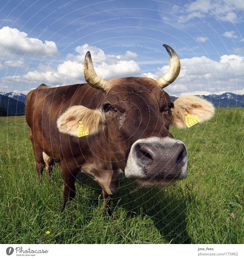 Joy Animal Mountain Cattle Cow Boredom Whimsical Alpine pasture Farm animal