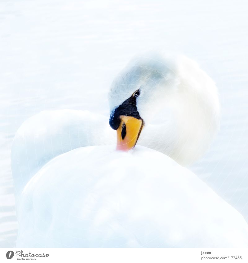 White Beautiful Calm Animal Bright Contentment Feather Exceptional Observe Beak Pride Swan Bird Brilliant Perspective