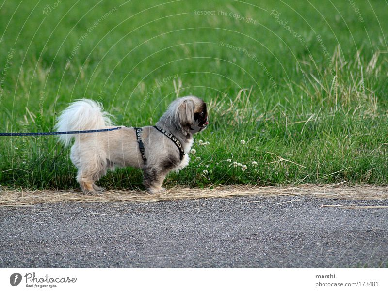 -NESE Colour photo Exterior shot Environment Nature Garden Park Meadow Street Animal Pet 1 Exceptional Small Brown Green Dog River Leine Side Grass Walk the dog
