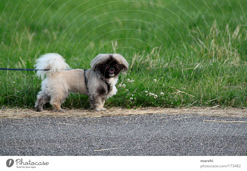 PEKI- Colour photo Exterior shot Nature Garden Park Meadow Animal Pet Dog 1 Small Puppydog eyes Breathe Rope Walk the dog Looking Forward Leashed Wauwau