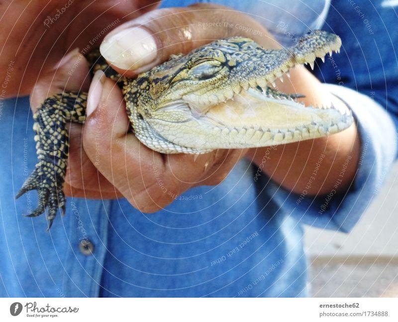 Nature Animal Baby animal Farm Hunting Reptiles Crocodile Cambodia