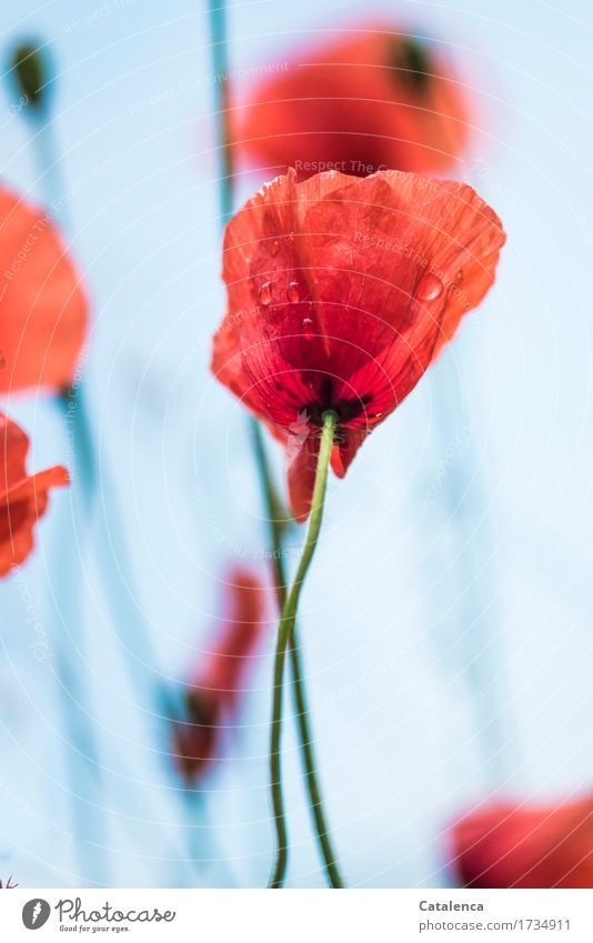 more poppy Nature Plant Air Drops of water Summer Flower Blossom Corn poppy Garden Meadow Blossoming Illuminate Beautiful Wet Blue Green Orange Red Variable