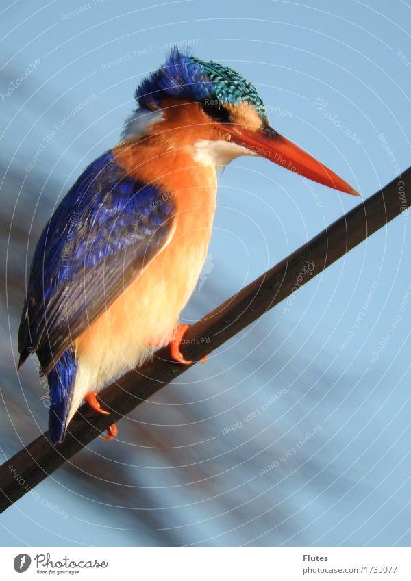 Blue Animal Bird Orange Wild animal Botswana Kingfisher Okavango