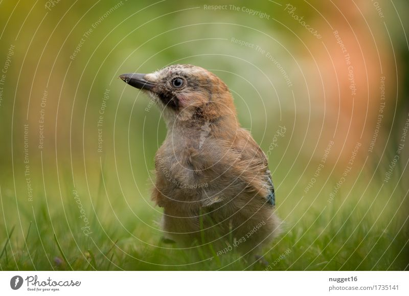 jay boy Animal Summer Autumn Beautiful weather Grass Garden Park Meadow Forest Wild animal Bird Animal face Wing Jay 1 Baby animal To feed To enjoy Crouch Sit