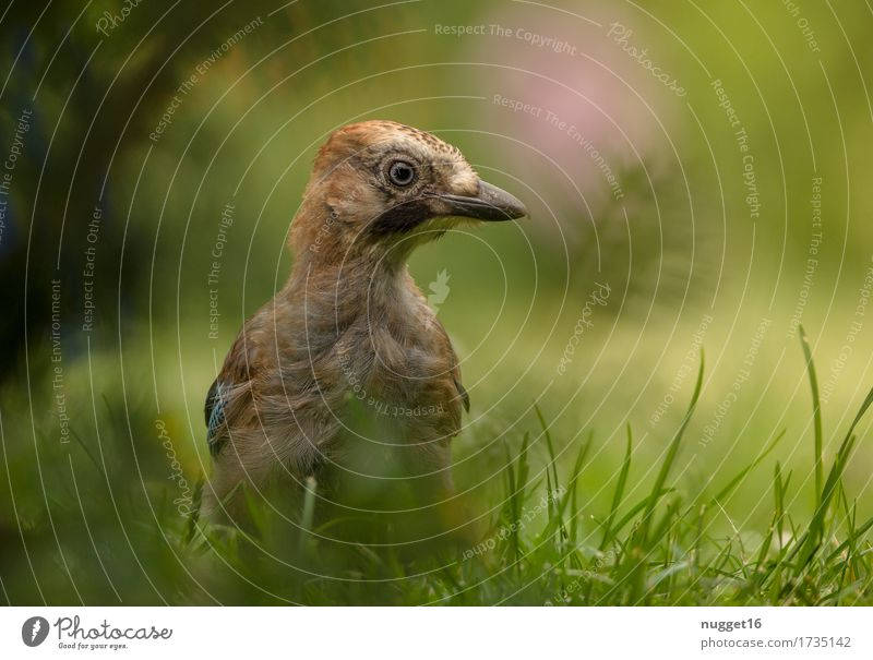 jay boy Environment Nature Animal Summer Grass Meadow Forest Wild animal Bird Animal face Wing Jay 1 Baby animal Observe Looking Sit Esthetic Brash Friendliness