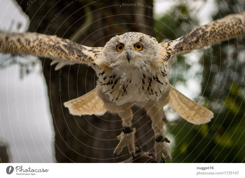 Eagle owl approaching Animal Wild animal Bird Animal face Wing 1 Observe Movement Flying Hunting Esthetic Exceptional Gigantic Near Speed Brown Green Orange