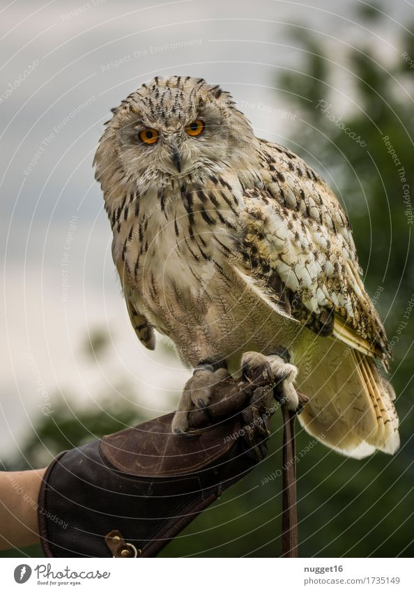 eagle owl Nature Animal Sky Wild animal Bird Wing Zoo Eagle owl Owl birds 1 Observe Flying Looking Esthetic Exceptional Exotic Natural Curiosity Brown Green