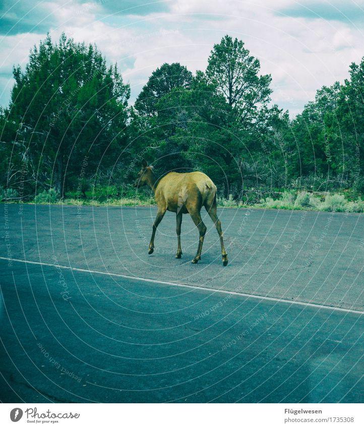 hitchhiking through America Americas USA Arizona Grand Canyon Street In transit Loneliness Individual Hitchhiker Roe deer Deer Elk Wild animal Tree Bushes Tar