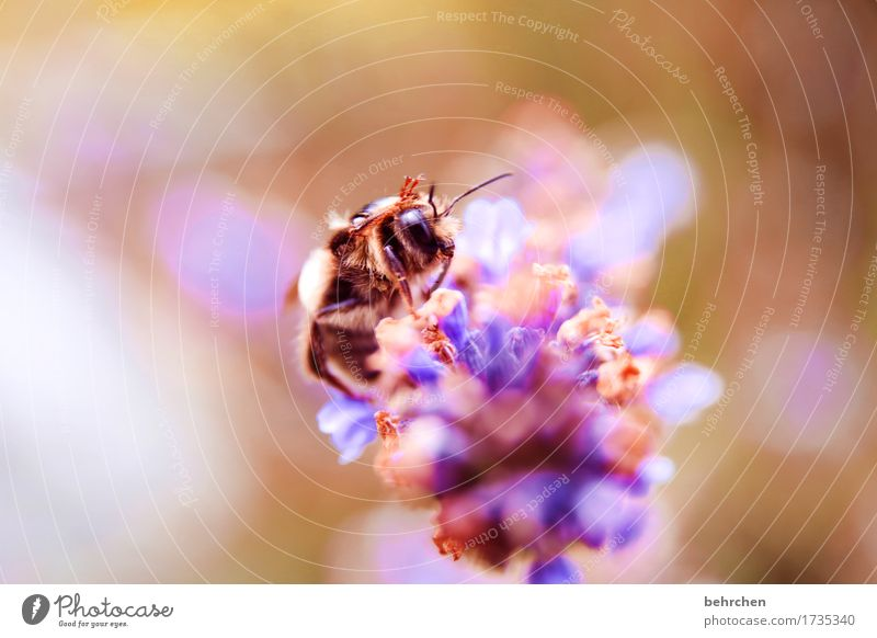 Wave wave Nature Plant Animal Summer Flower Leaf Blossom Lavender Garden Park Meadow Wild animal Bee Animal face Wing 1 Blossoming Fragrance Flying To feed