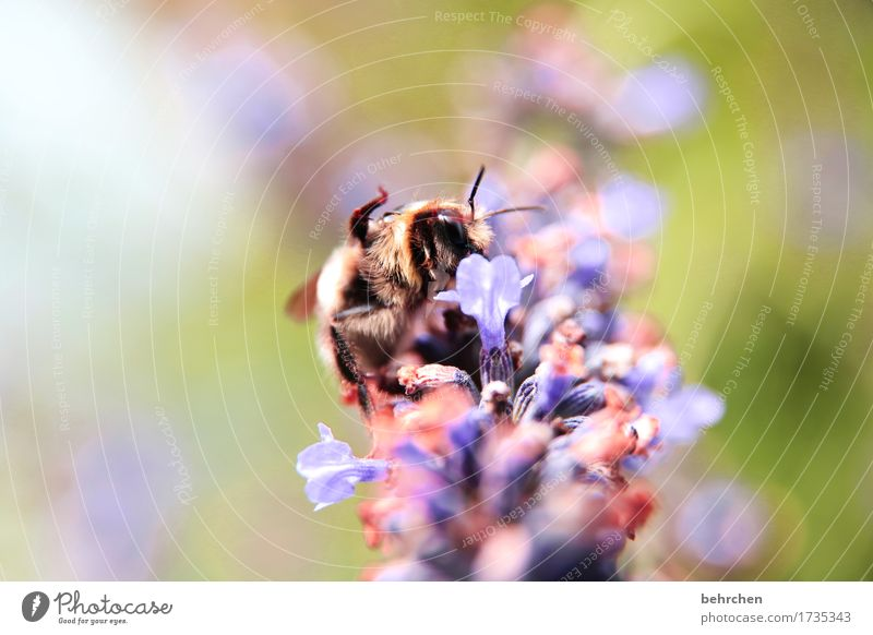 Greetings:) Nature Plant Animal Summer Beautiful weather Flower Leaf Blossom Lavender Garden Park Meadow Wild animal Bee Animal face Wing 1 Blossoming Fragrance