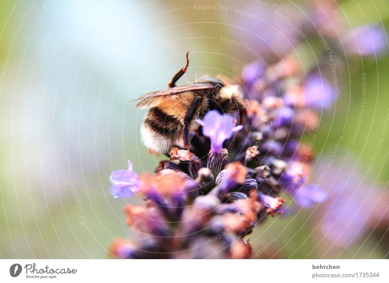 Monotonously, always the same work. Nature Plant Animal Summer Beautiful weather Flower Leaf Blossom Lavender Garden Park Meadow Wild animal Bee Wing 1
