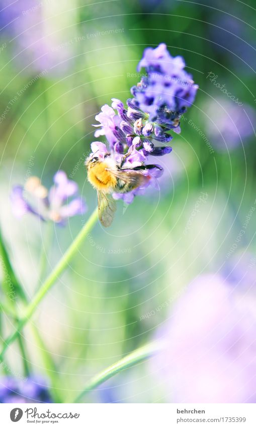 tender attempt Nature Plant Animal Summer Beautiful weather Flower Grass Leaf Blossom Lavender Garden Park Meadow Wild animal Bee Animal face Wing 1 Blossoming