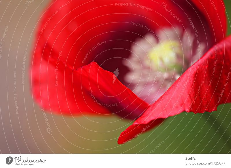 Nature Plant Summer Colour Beautiful Flower Red Environment Blossom Natural Rain Esthetic Blossoming Drops of water Wet Poppy