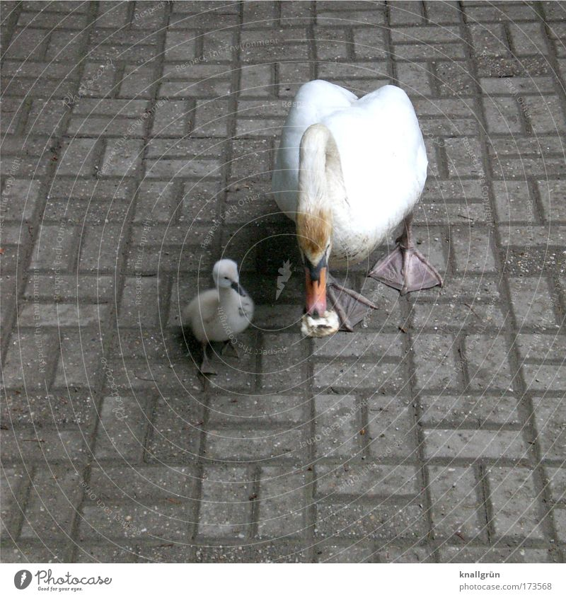 Single parent Colour photo Subdued colour Exterior shot Deserted Copy Space left Copy Space bottom Neutral Background Day Animal Swan swan chicks 2 Baby animal