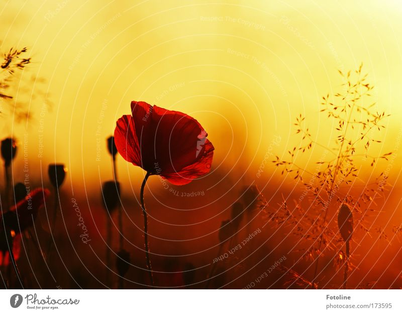 Nature Sky Plant Meadow Blossom Grass Park Landscape Air Weather Environment Multicoloured Fragrance Poppy Beautiful weather Sunrise