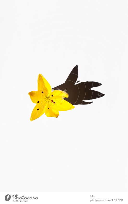 Nature Summer Flower Yellow Blossom Esthetic Happiness Blossoming Lily Lily blossom