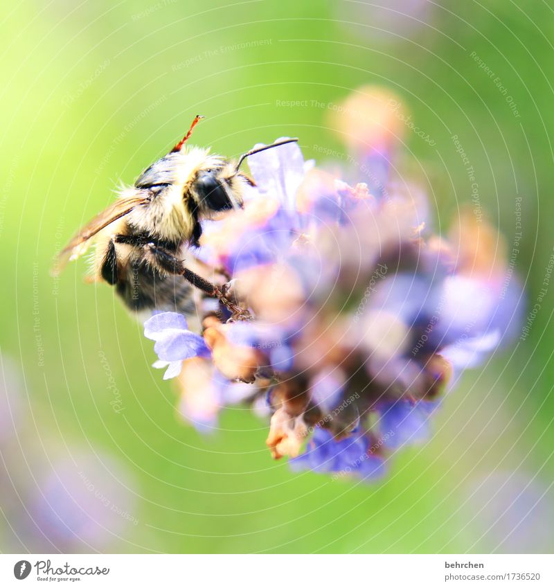 summer move Nature Plant Animal Summer Flower Leaf Blossom Lavender Garden Park Meadow Wild animal Bee Animal face Wing 1 Blossoming Fragrance Flying To feed
