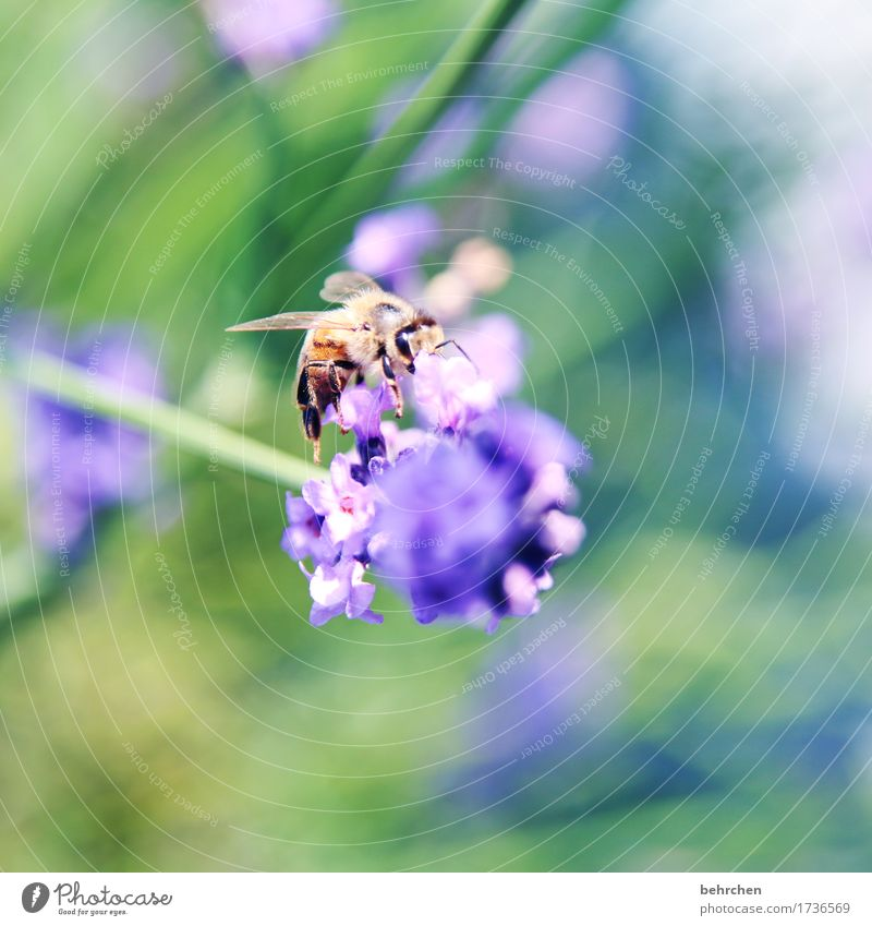 Sound color of summer. Nature Plant Animal Summer Beautiful weather Flower Leaf Blossom Lavender Garden Park Meadow Wild animal Bee Animal face Wing 1