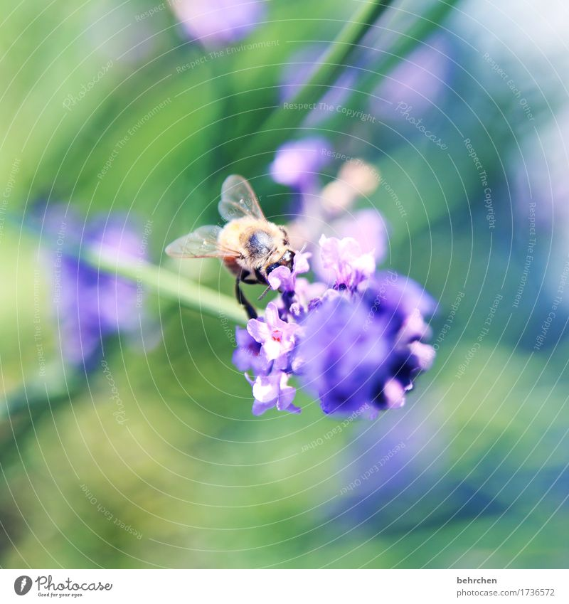 Of bees and flowers Nature Plant Animal Summer Beautiful weather Flower Leaf Blossom Lavender Garden Park Meadow Wild animal Bee Animal face Wing 1 Blossoming