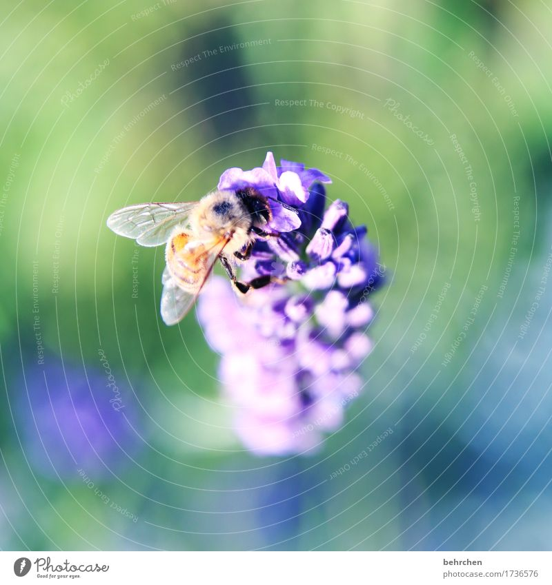 I... Nature Plant Animal Summer Beautiful weather Flower Leaf Blossom Lavender Garden Park Meadow Wild animal Bee Wing 1 Observe Blossoming Fragrance Flying