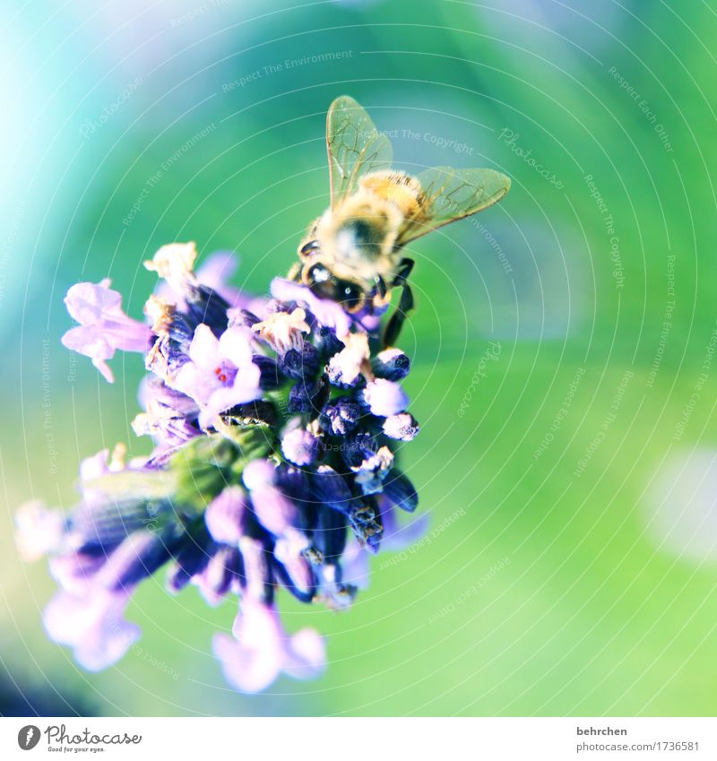...SUMMER! Nature Plant Animal Summer Beautiful weather Flower Leaf Blossom Lavender Garden Park Meadow Wild animal Bee Animal face Wing 1 Observe Blossoming