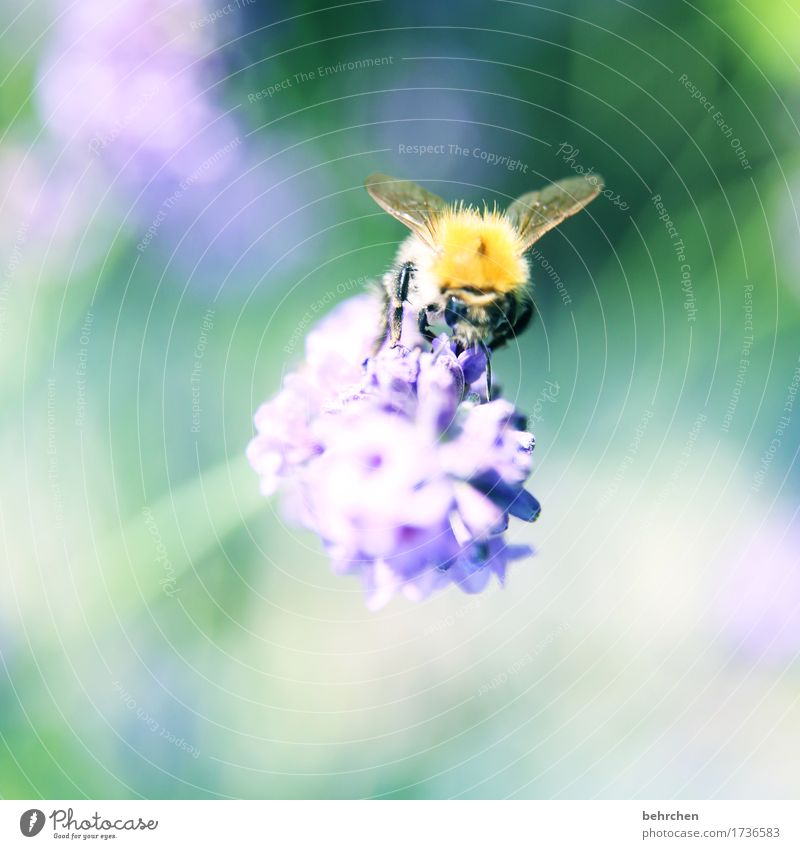 lavender rush Nature Plant Animal Summer Beautiful weather Flower Leaf Blossom Lavender Garden Park Meadow Wild animal Bee Animal face Wing 1 Observe Blossoming
