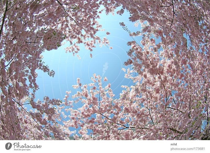 Nature Sky Tree Plant Calm Blossom Spring Environment Happiness Joie de vivre (Vitality) Enthusiasm Spring fever Fisheye Cloudless sky
