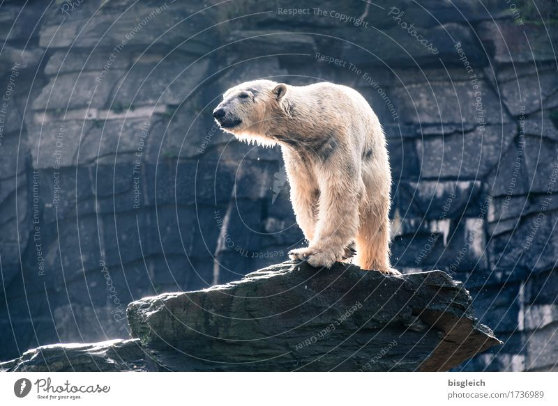 A bath in the morning II Animal Wild animal Polar Bear 1 Looking Stand Large Strong Blue Gray White Might Power Pride Colour photo Subdued colour Exterior shot