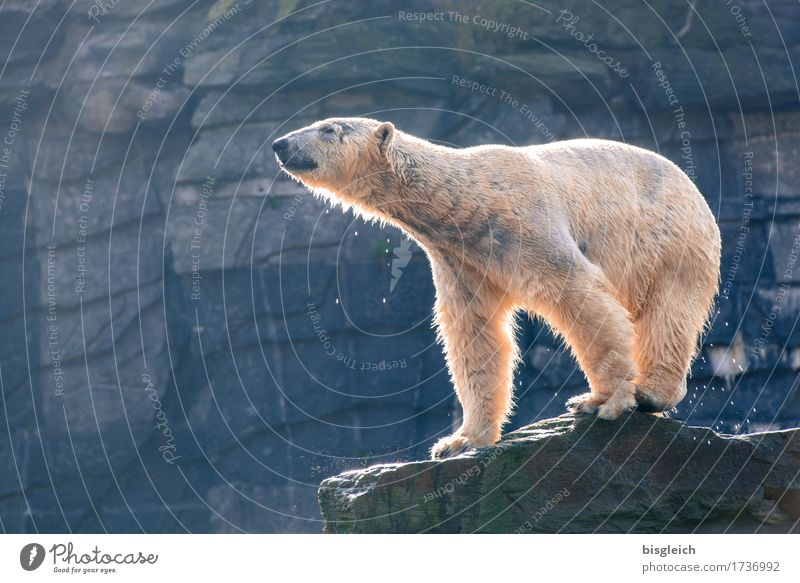 A bath in the morning III Animal Wild animal Polar Bear 1 Looking Stand Blue Gray White Power Colour photo Exterior shot Deserted Copy Space left Day