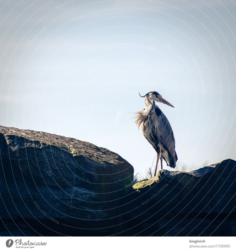 shoulder look Animal Bird Heron Grey heron 1 Looking Stand Blue Gray Attentive Watchfulness Patient Calm Colour photo Subdued colour Exterior shot Deserted