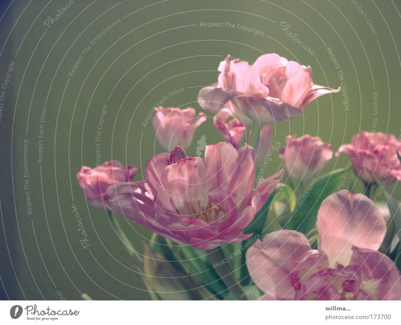 """aesthetics of transience Funeral service Plant Tulip Pink Fragrance Kitsch Decline Transience Change Faded Blossom Old """"Beauty Aesthetics"""" """"Flowers Bouquet"""""""