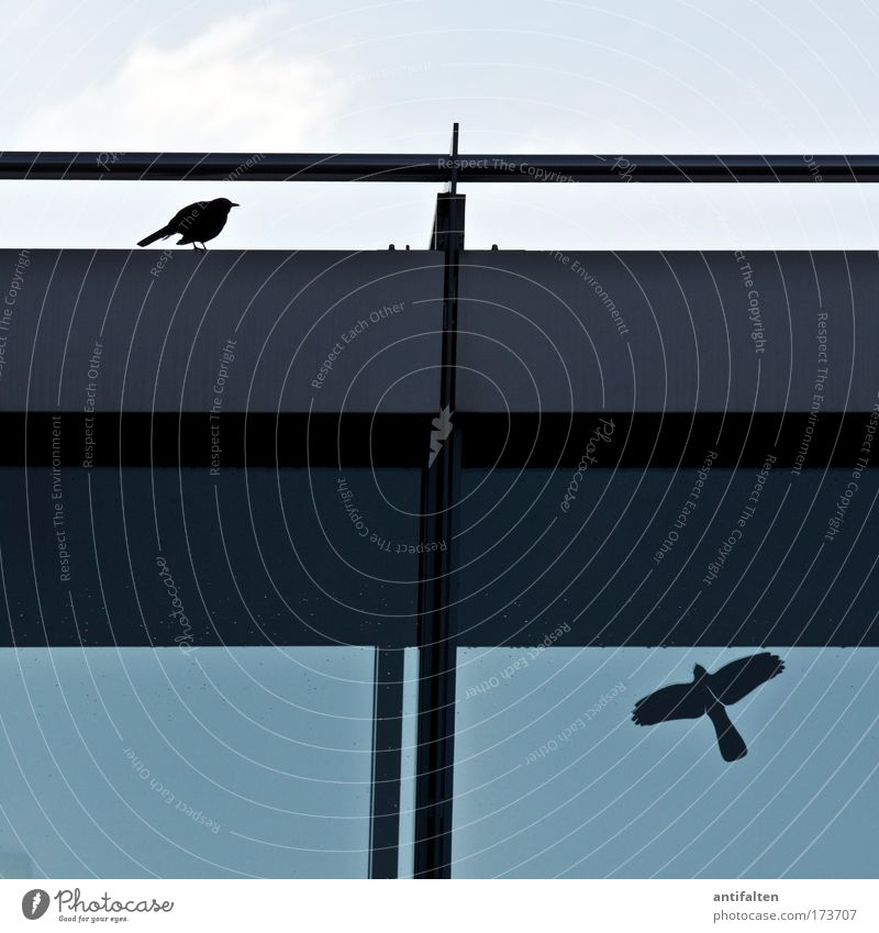 Real and fake Animal Bird Wing Blackbird 1 Label Sign Flying Sit Authentic Simple Free Funny Blue Gray Life Freedom Nature Pure Whimsical Stagnating Surrealism